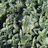 Origanum 'Hot and Spicy'