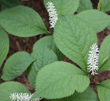 Chloranthus japonicus 1 flower