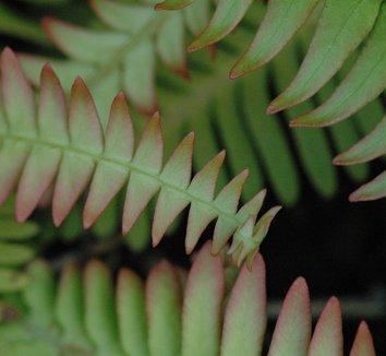 Blechnum nipponicum 5