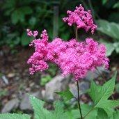 Filipendula purpurea
