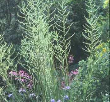 Nolina lindheimeriana [coll. #D28-03] 1 flower