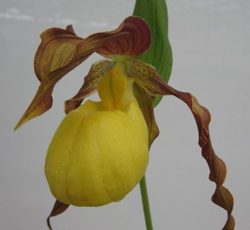 Cypripedium Lothar Pinkepank gx 1 flower