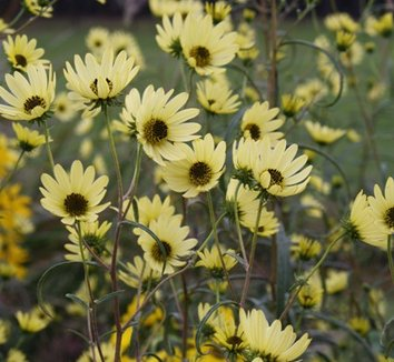 Helianthus angustifolius 'Matanzas Creek' 1 flower