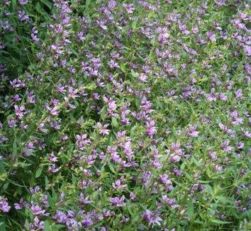 Cuphea glutinosa 1 flower