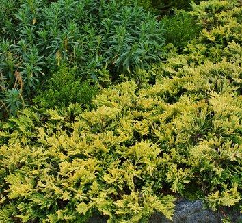 Juniperus horizontalis 'Mother Lode' 5