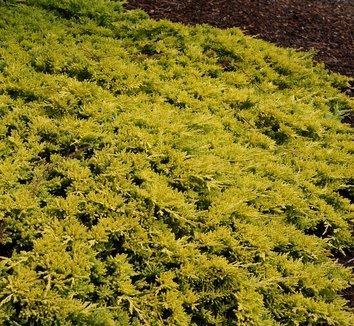 Juniperus horizontalis 'Mother Lode' 10