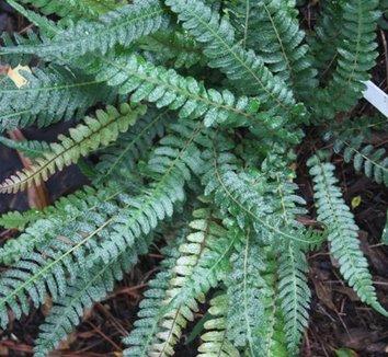 Doodia australis 1