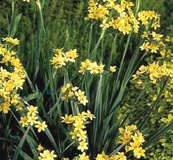 Sisyrinchium palmifolium 4 flower