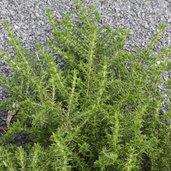 Piloblephis rigida [NE Florida form]