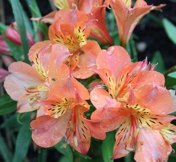 Alstroemeria 'Princess Mathilde' 1 flower