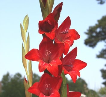 Gladiolus 'Robeson Red' 1 flower