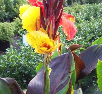 Canna 'Cleopatra' 11 flower