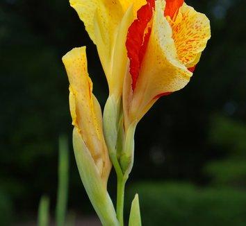 Canna 'Cleopatra' 15 flower