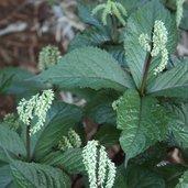 Chloranthus sessilifolius 'Get Shorty'