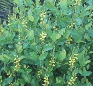Baptisia simplicifolia 1 flower