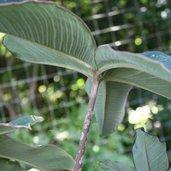Amorphophallus atroviridis 'Thai Hot Spot'