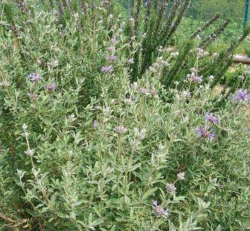 Salvia clevelandii 1 form
