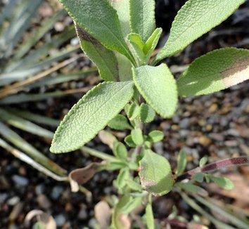 Salvia clevelandii 6