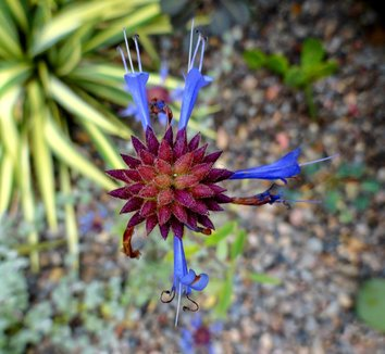 Salvia clevelandii 11 flower