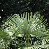 Trachycarpus fortunei 'Bulgaria'