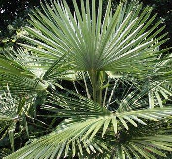 Trachycarpus fortunei 'Bulgaria' 1