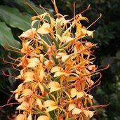 Hedychium 'Anne Bishop'