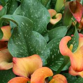 Zantedeschia 'Captain Murano'