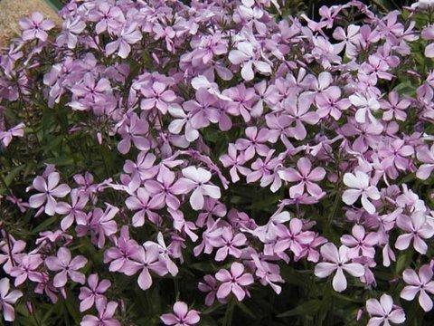 Phlox divaricata 39 charleston pink 39 charleston pink for Perennial wood