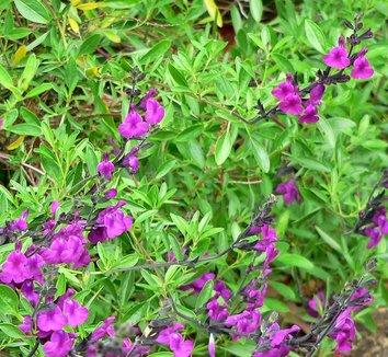 Salvia muelleri 1 flower