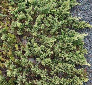 Juniperus horizontalis 'Mother Lode' 1
