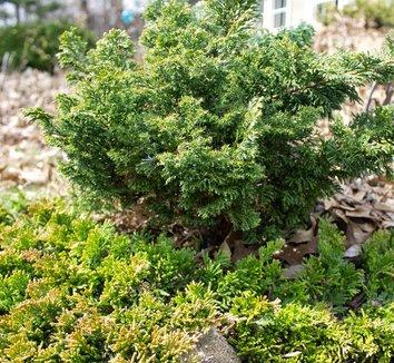 Juniperus horizontalis 'Mother Lode' 11