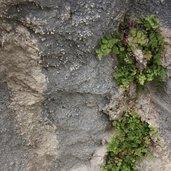 Adiantum capillus-veneris 'Mt. Ida'