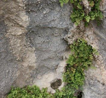 Adiantum capillus-veneris 'Mt. Ida' 1 habitat