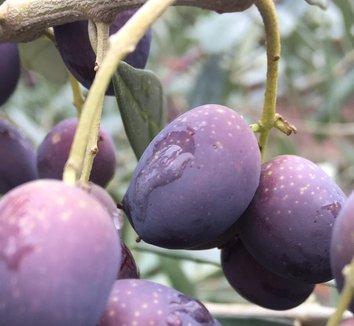 Olea europaea 'Frantoio' 4 fruit