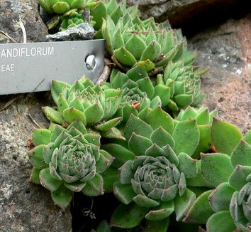 Sempervivum grandiflorum 3 form