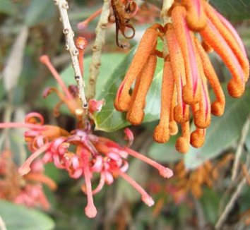 Grevillea victoriae 'Murray Valley Queen' 6 flower