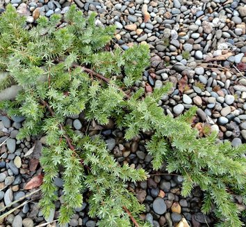 Juniperus conferta 'Blue Pacific' 3