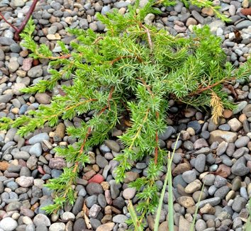 Juniperus conferta 'Blue Pacific' 8
