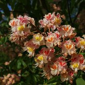 Aesculus carnea 'O'Neill Red'