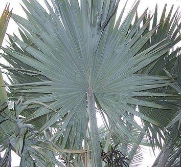 Bismarckia nobilis 3