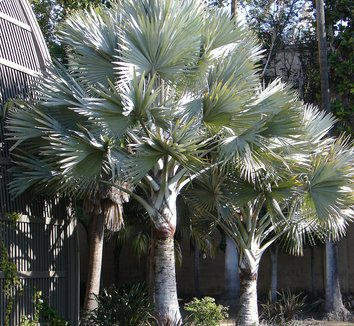 Bismarckia nobilis 9 form