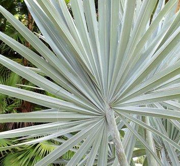 Bismarckia nobilis 12
