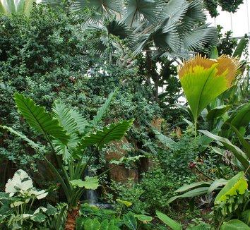 Bismarckia nobilis 14 form