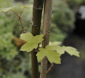 Acer macrophyllum 'Mocha Rose' 7