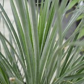 Fascicularia bicolor Spinners Form