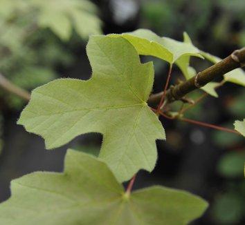 Acer macrophyllum 'Mocha Rose' 8