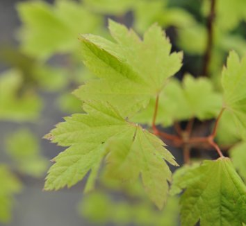 Acer circinatum 'Sunglow' 1