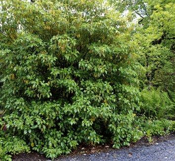Trochodendron aralioides 1