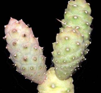 Tephrocactus articulatus var. strobiliformis 2