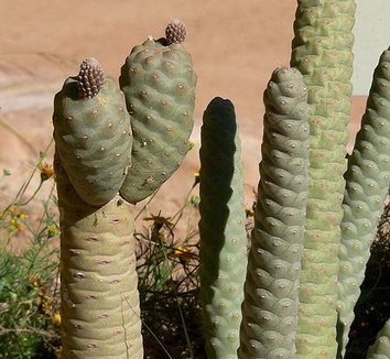 Tephrocactus articulatus var. strobiliformis 1